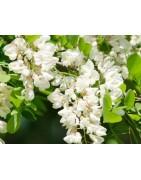 Robinia acacia honey